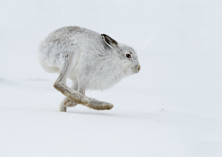Close up of hare running