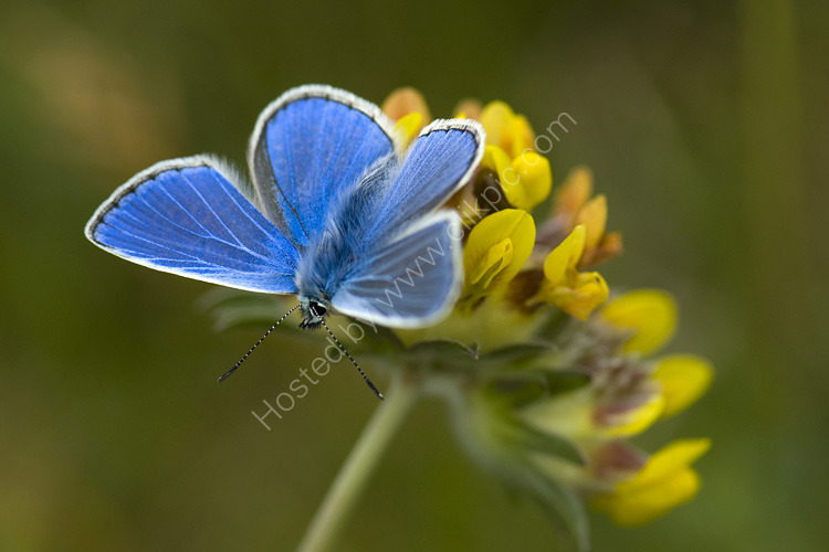 Common blue on vetch