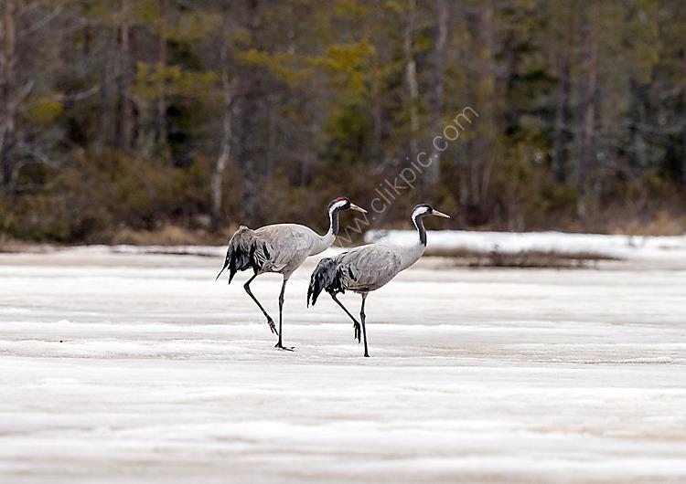 Cranes on ice