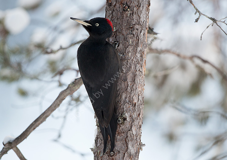 Female Black woodpecker