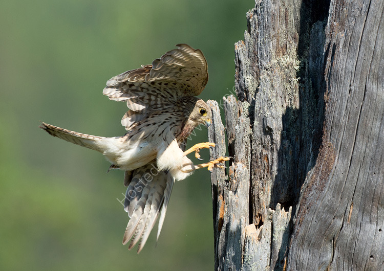 Female kestrel in flight