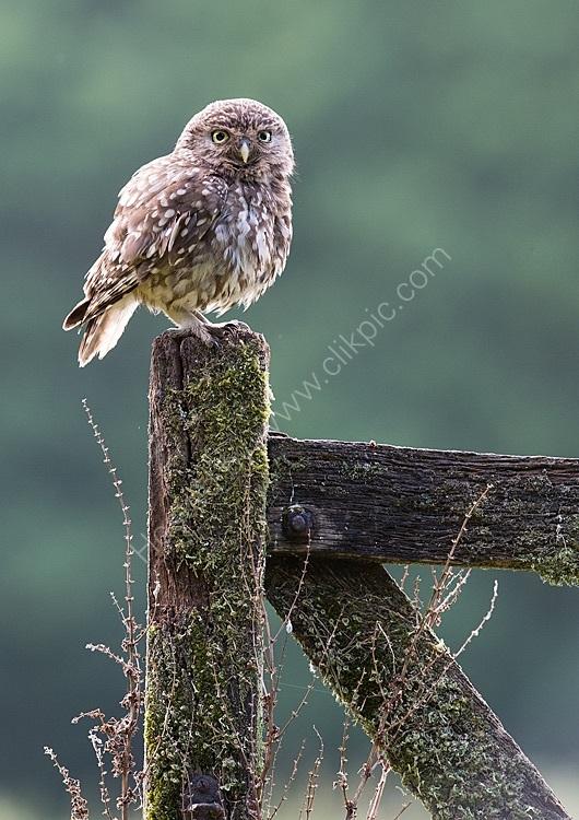 Female little owl on gate