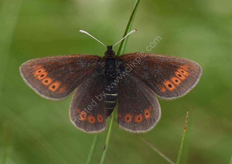 Female mountain ringlet