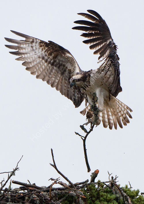 Female osprey with stick