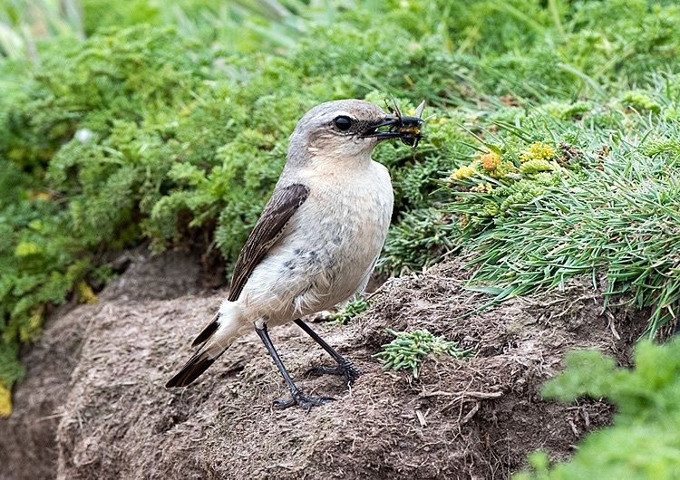 Female wheatear with bee