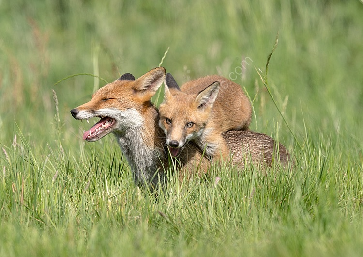 Fox cub and mother