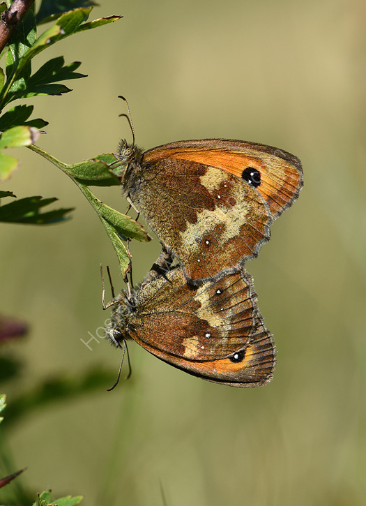 Gatekeepers mating