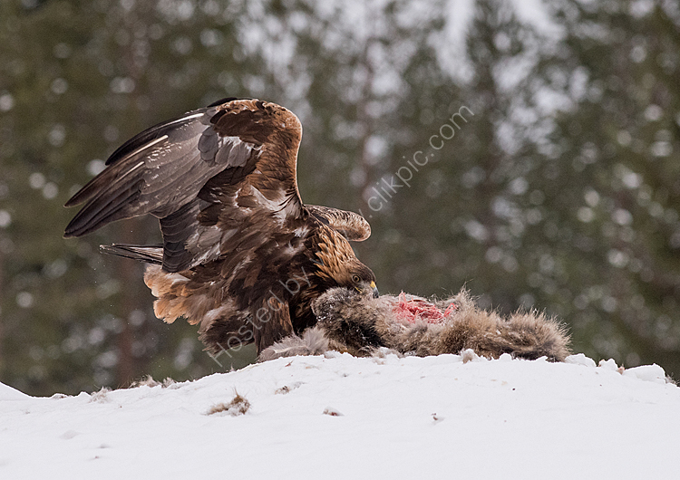 Golden eagle dragging prey