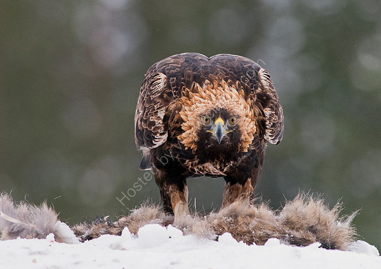 Golden eagle on dragon dog
