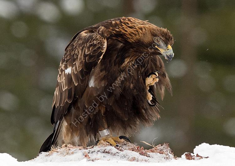 Golden eagle scratching
