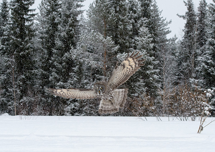Great Grey Owl in tiger forest