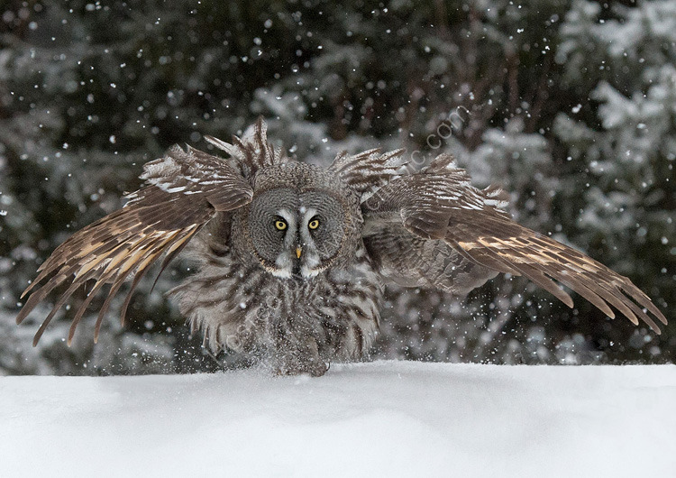 Great Grey owl shaking off snow
