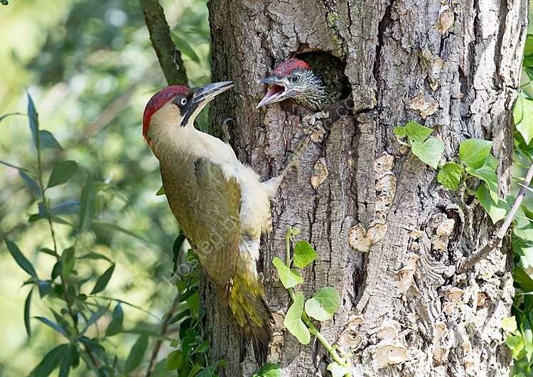 Green woodpecker feeding chick