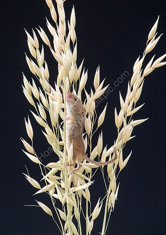 Harevst mouse in oats
