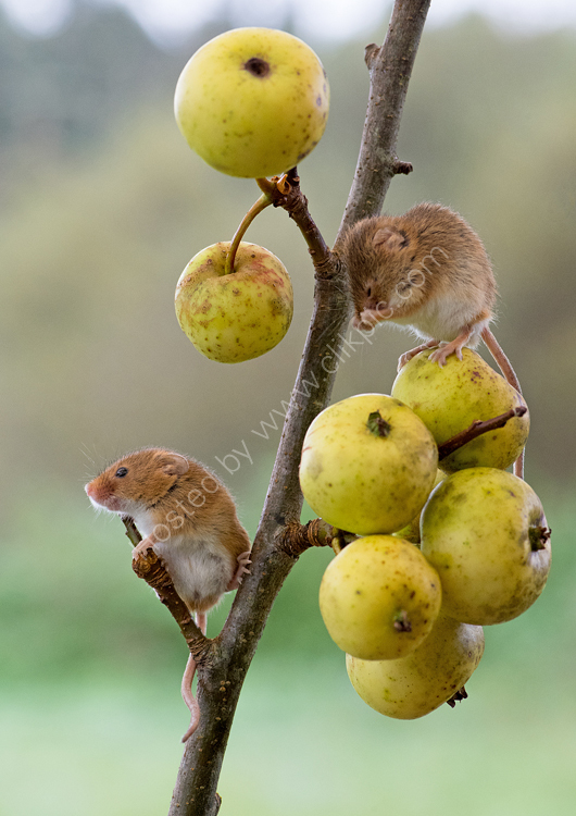 Harvest mice on crab apples