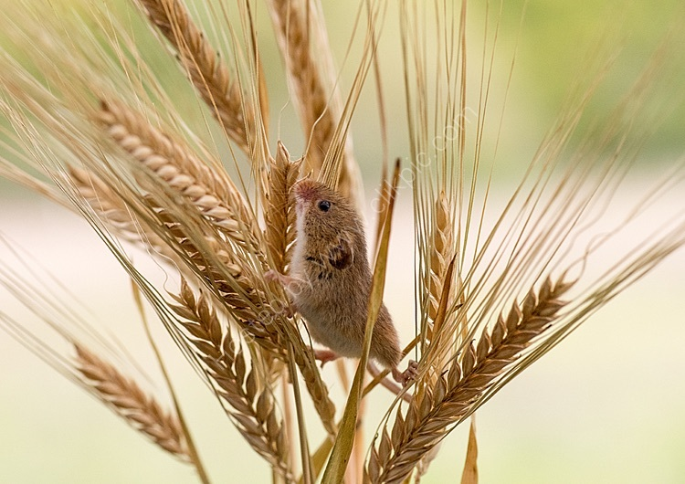 Harvest mouse exploring barley