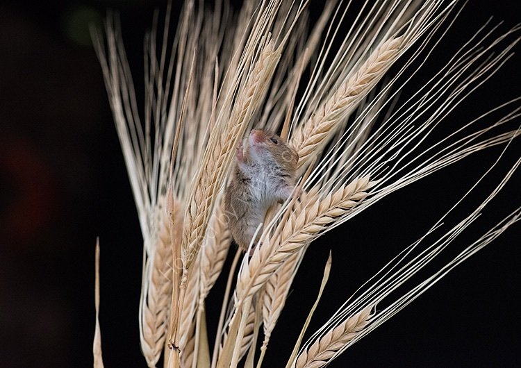 Harvest mouse in barley ears