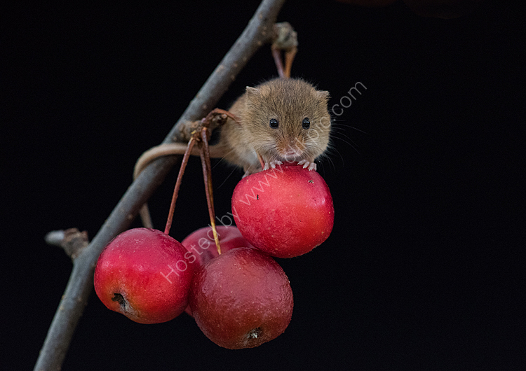 Harvest mouse on apple