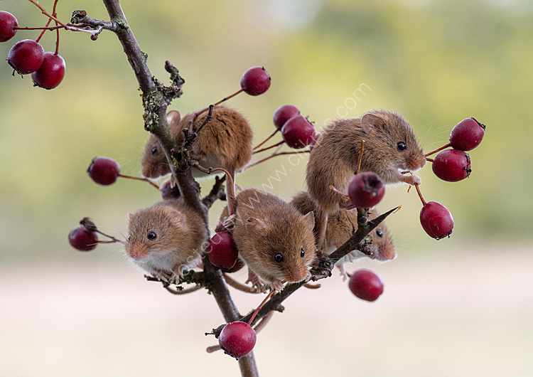 Harvest mouse tree