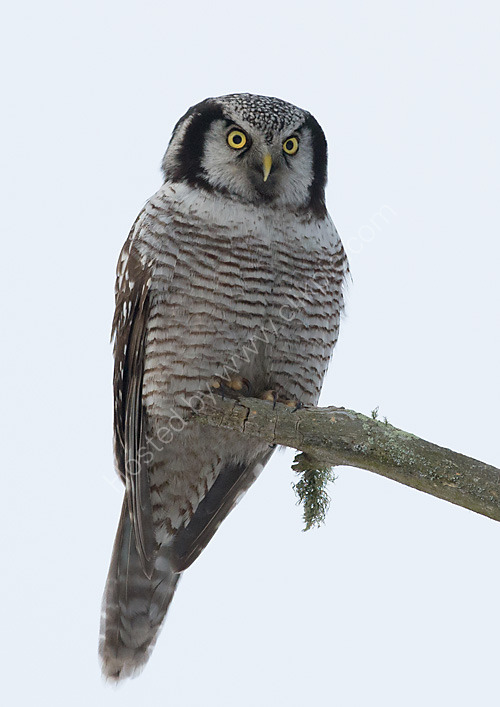 Hawk owl in tree