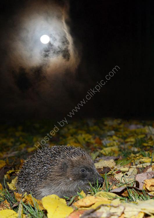 Hedgehog and the stormy sky