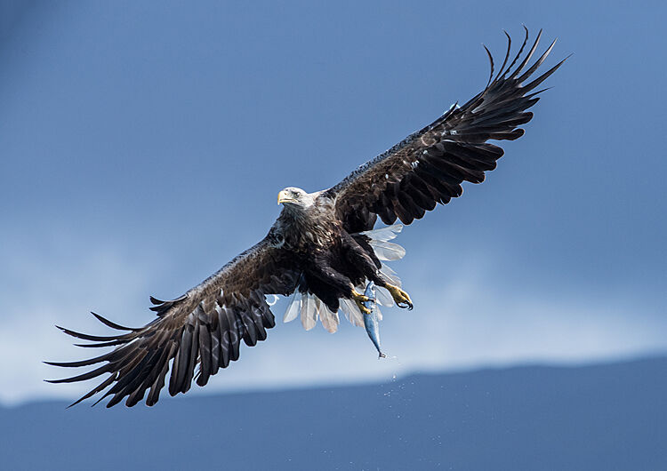 Image of the month for august fish eagle