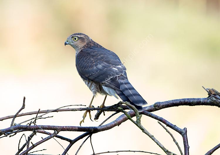 Juvenile sparrow hawk