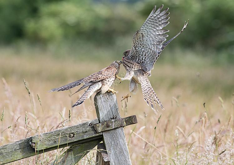 Kestrel feeding young