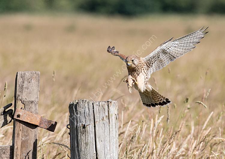 Kestrel landing