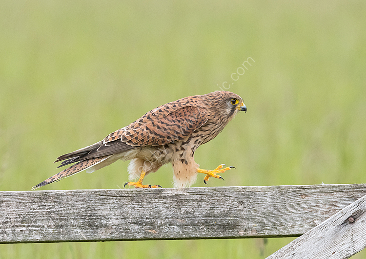 Kestrel walking