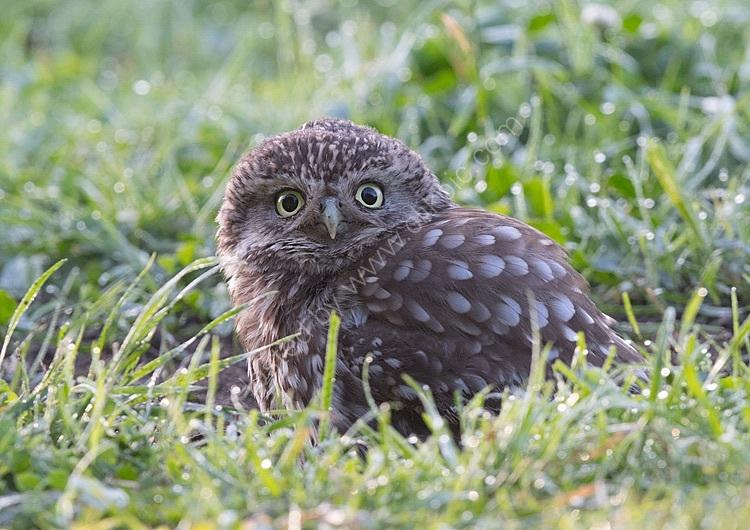 Little owl in grass