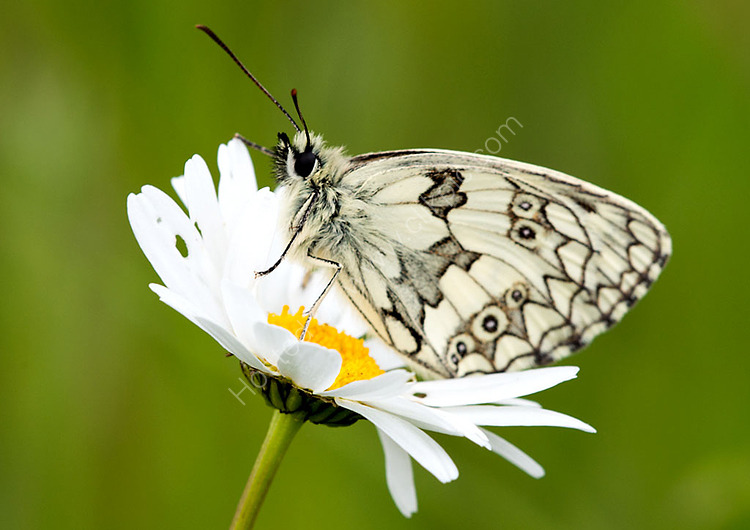 Male Marbled white