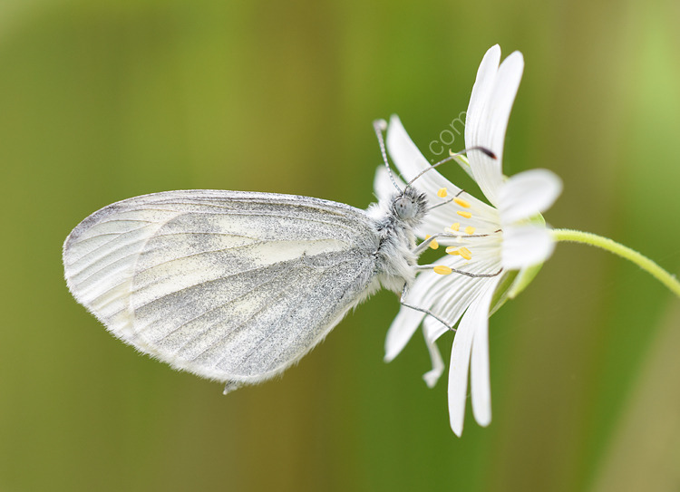 Male Wood white