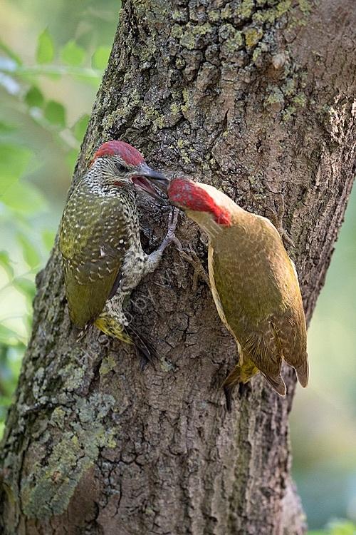 Male woodpecker feeding chick
