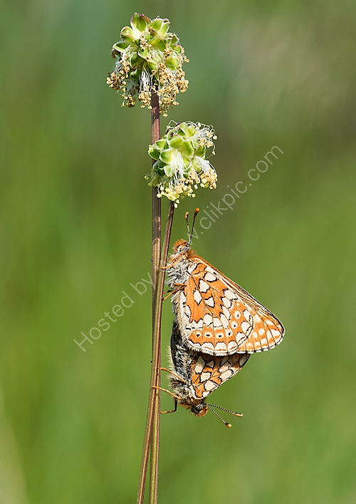 Mating Marsh fritillaries