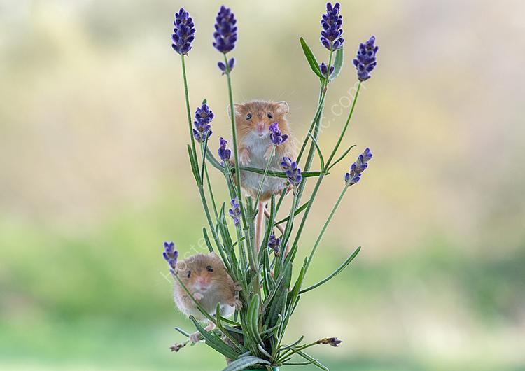 Mice in lavendar