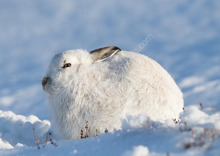 Mountain hare in sunshine