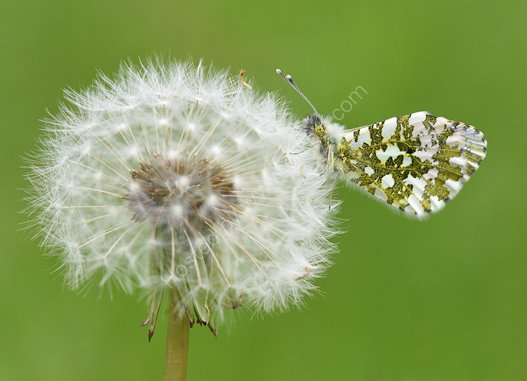 Orange tip on dandelion head