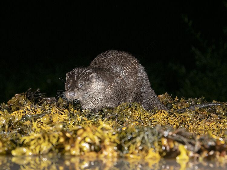 Otter at night
