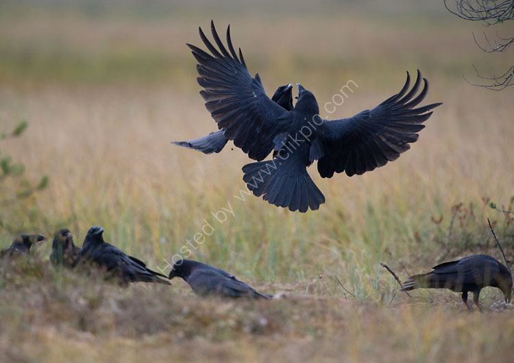 Ravens fighting