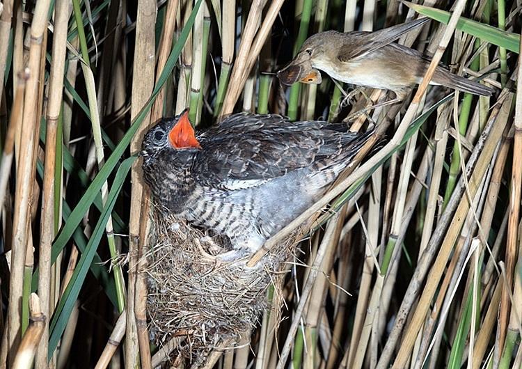 Reed warbler feeding parastic cuckoo