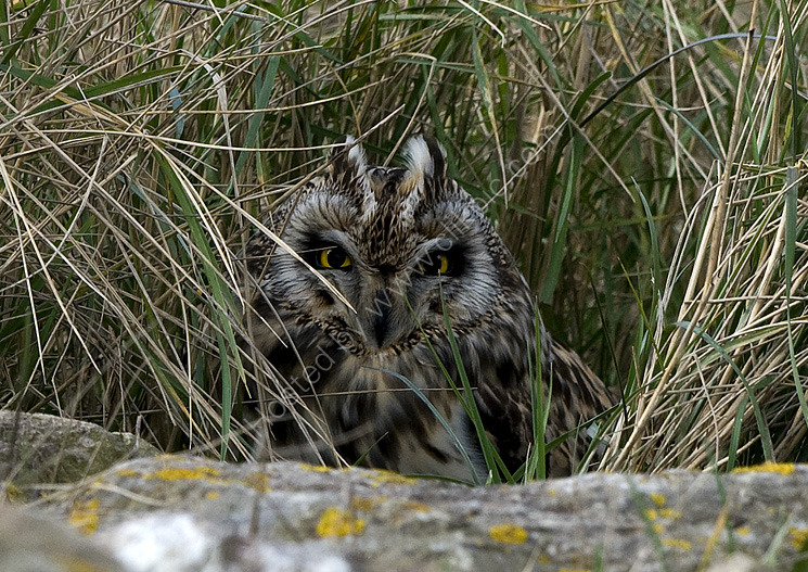 Short eared owl hiding