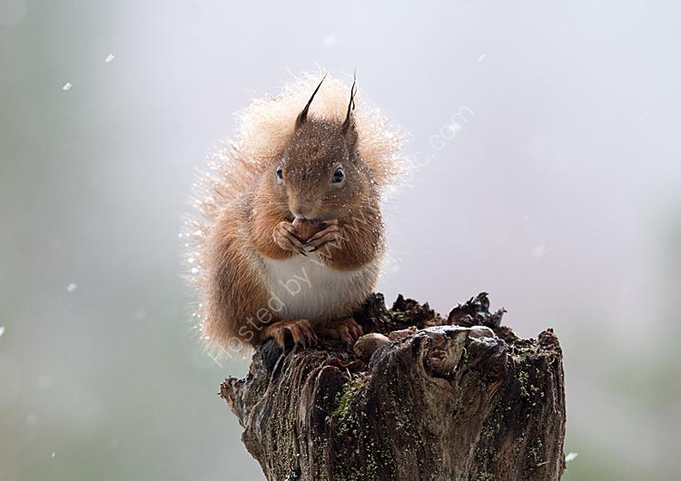 Squirrel in sleet