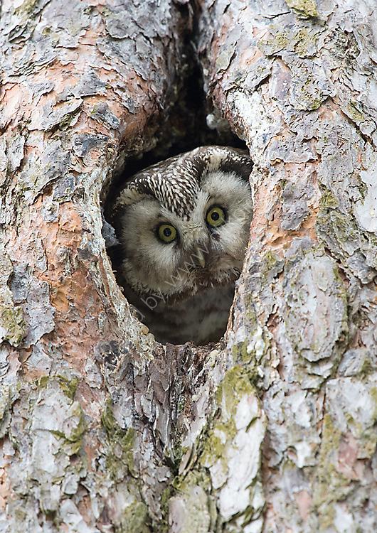 Tengmalns owl on nest