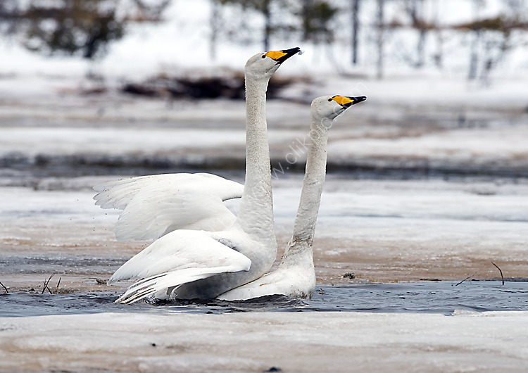 Whooper swans mating