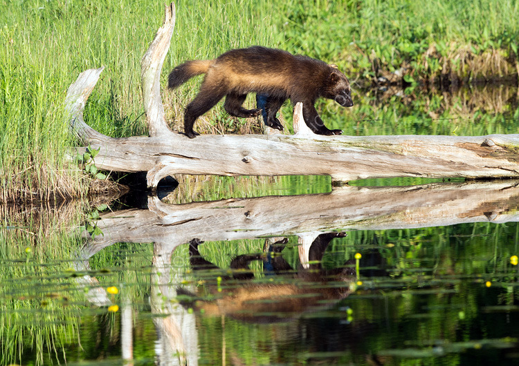Wolverine crossing pond