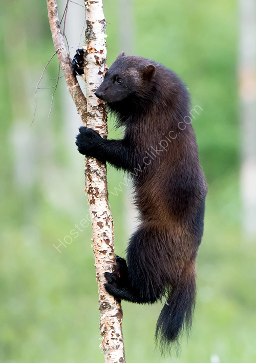 Wolverine in tree