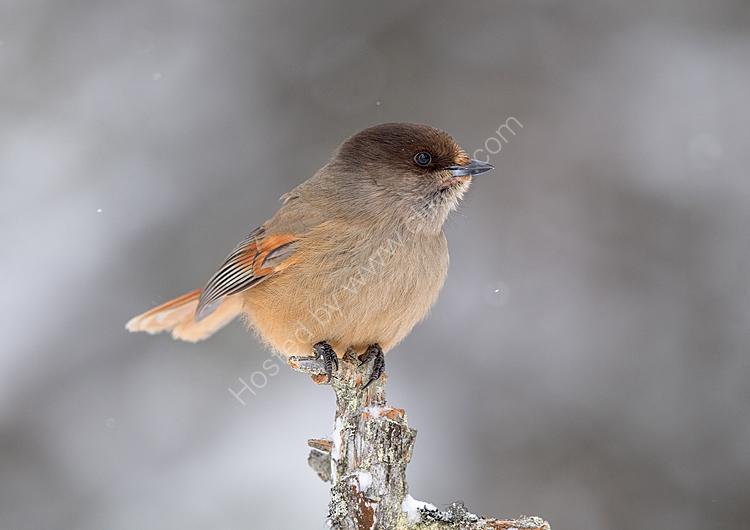 Young Siberian Jay