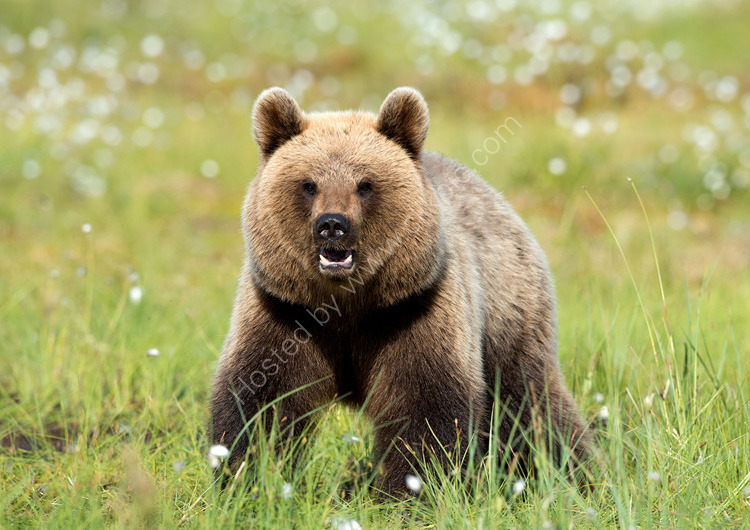 Young bear at swamp