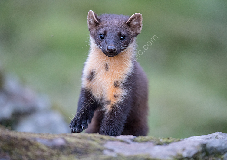 Young pine martin